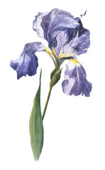 Watercolourhand-drawn spring and summer iris flower illustration