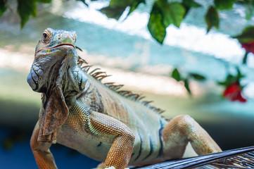 live iguana lizard
