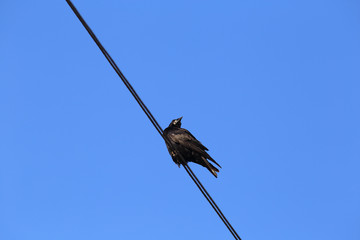 Black Crow on a background of blue sky