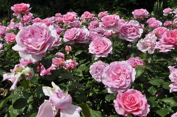 Fototapeta Roses obraz