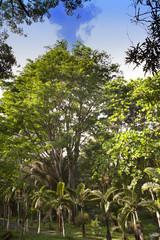 Bottle palm trees lane (Hyophorbe). Mauritius..