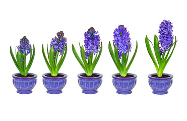 Purple Hyacinth Flowers In Diffe Stages Of Growth With No Background Five