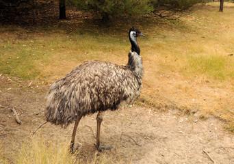 Ostriches EMU.