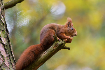 Squirrel snack on the branch