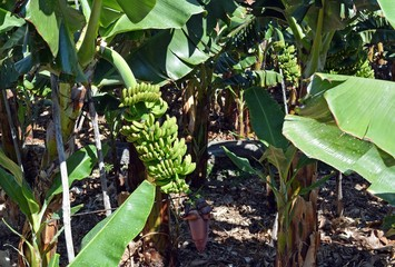 Banana plantation On La Palma. Canary Islands. Spain.