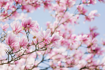 Spring! Blooming Magnolia