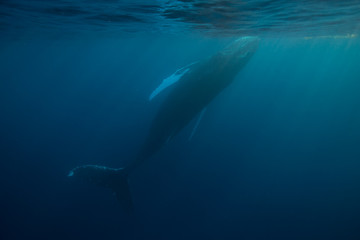 Humpback Whale Near Surface of Ocean