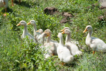 Flock of little geese walking on the grass