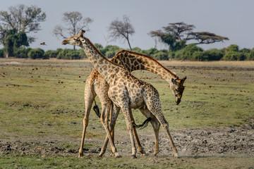 giraffe fight