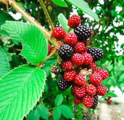 Panamanian blackberry