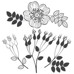 Set of dogrose isolated on white background.  Hand drawn vector elements