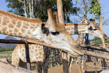 Giraffe in the zoo natural light [Blur and Select focus background]