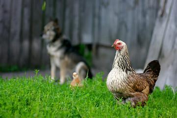 Курица в селе, стоит в зеленой травке