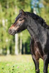 Portrait of beautiful bay pony