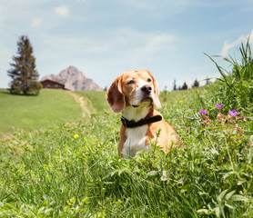 Beagle sitting in high grass on the mountain meadow