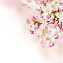 Cherry blossoms over blurred nature background