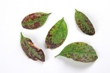 Physiological disease - lack of nutrients on Ligustrum