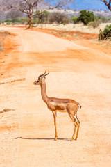 Giraffengazelle auf einem Weg im Tsavo Nationalpark