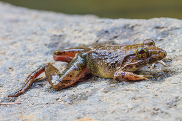 Closeup of Asian River Frog
