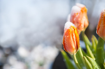 tulips in the snow, looking for spring, melting snow / The tulips during the last days of winter with melting snow