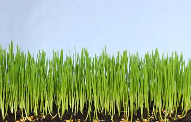 Saftig grünes Weizengras