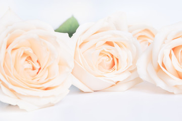 Soft full blown beige roses as a neitral background.  Selective focus.