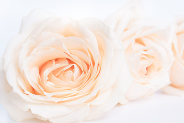 Soft full blown beige roses as a neitral background for wedding.  Selective focus.
