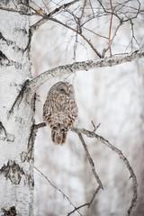Owl on a birch