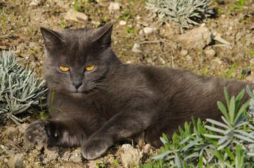 Gatto certosino prende il sole in giardino