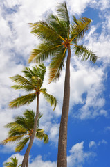 Palm trees and sky, view from below. Dominica