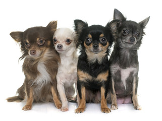 group of chihuahua