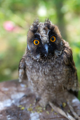 young owl in front of  sitting on a stump