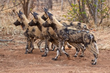very cute painted dogs (lycaon) at chobe national park