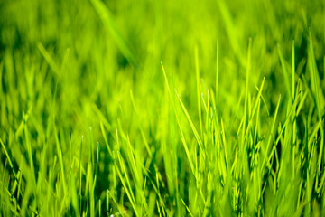 Fresh Spring Green Grass Lit by Bright Warm Sunrays