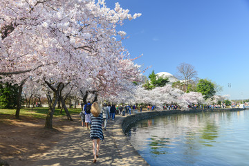 Washington DC in Spring - Jefferson Memorial during Cherry Blossom Festival  Wall mural
