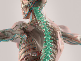 Human anatomy spine healing highlighted in blue. X-ray view.