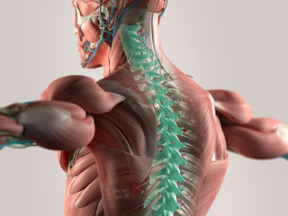 Human anatomy spine healing highlighted in blue.