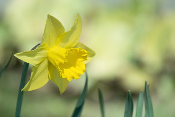 Yellow daffodil flower blooming in flowerbed
