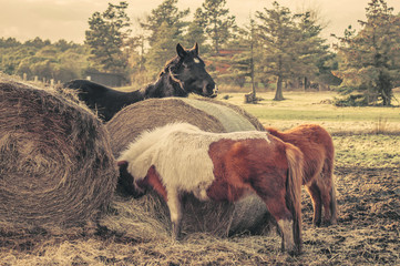 Horses eating a straw bale
