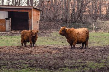 Highland cattle at a farm