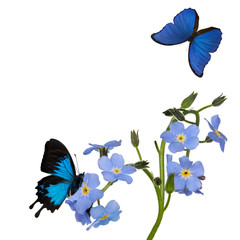 group of blue forget-me-not flowers and two butterflies