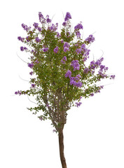 small isolated tree with lilac blossom
