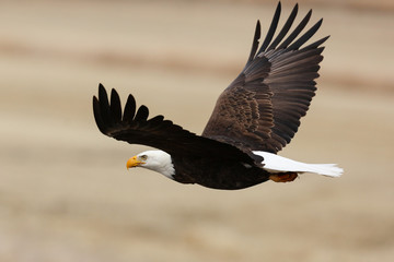 Photo on textile frame Eagle Bald Eagle in Flight