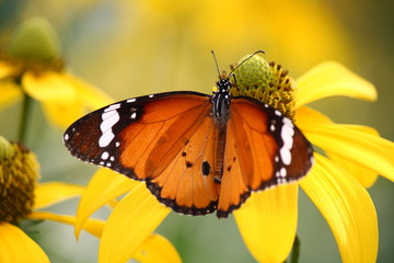 plain tiger butterfly on yellow flower