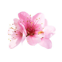 Almond pink flowers isolated on white