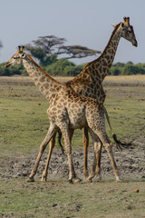 Giraffes in the fight