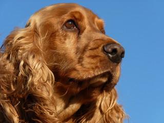 chien cocker spaniel