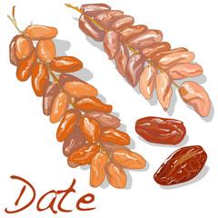 Date fruit dry. Vector illustration