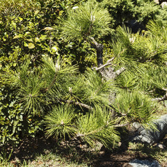 Small pine bonsai. Japanese garden.