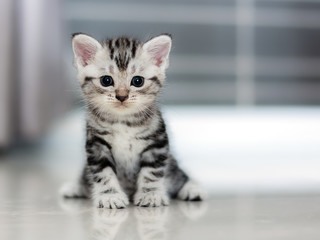 Cute American shorthair cat kitten Wall mural